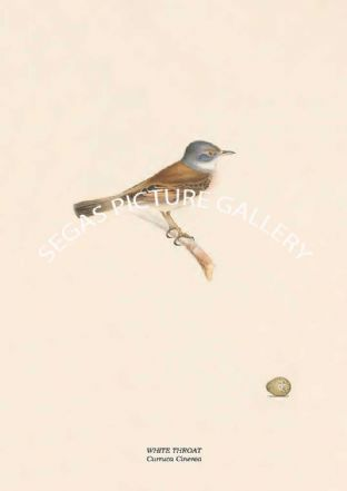 WHITE THROAT - Curruca Cinerea